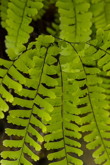 Maidenhair Fern, Northern California