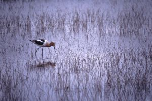 American Avocet, Klamath Nat'l Wildlife Refuges