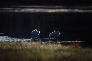 White Pelicans, Grand Teton National Park