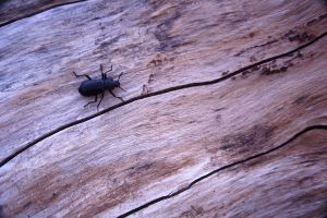 Beetle On A Snag, Mount Shasta, California