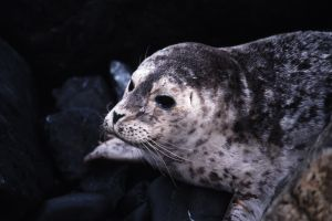 Harbor Seal, Trinidad, California