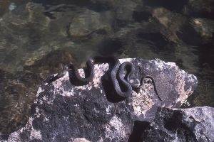 Snake, Tuolomne River, Yosemite National Park, California
