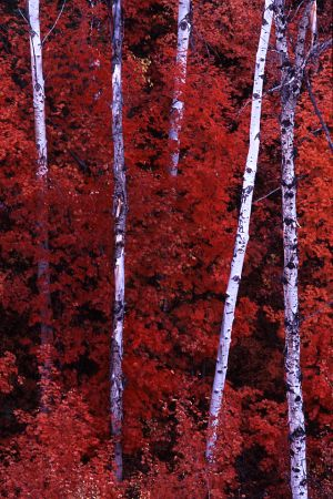 Fall Color, Targhee National Forest, Idaho