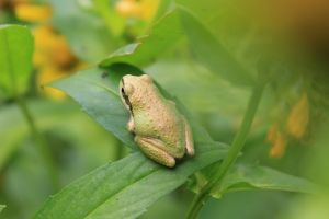 Pacific Tree Frog, Northern California
